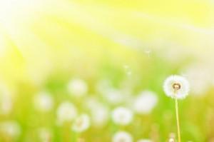 Danelion in a field of dandelions